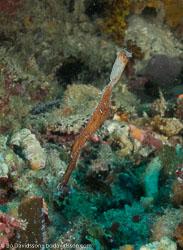 BD-080405-Bunaken-4051307-Solenostomus-cyanopterus.-Bleeker.-1854-[Ghost-pipefish].jpg